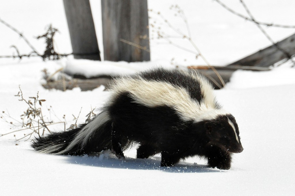 The Striped Skunk - not to be confused with high THC strains of cannabis… (Source: Wikimedia Commons)