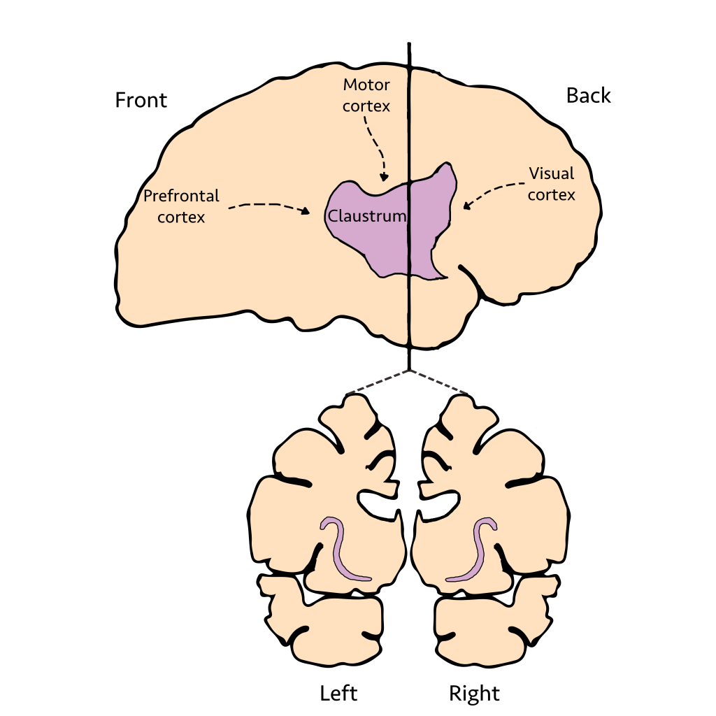 (Source: the Claustrum is a thin sheet of brain matter that takes inputs from important brain regions. Photo: thepsychedelicscientist.com)
