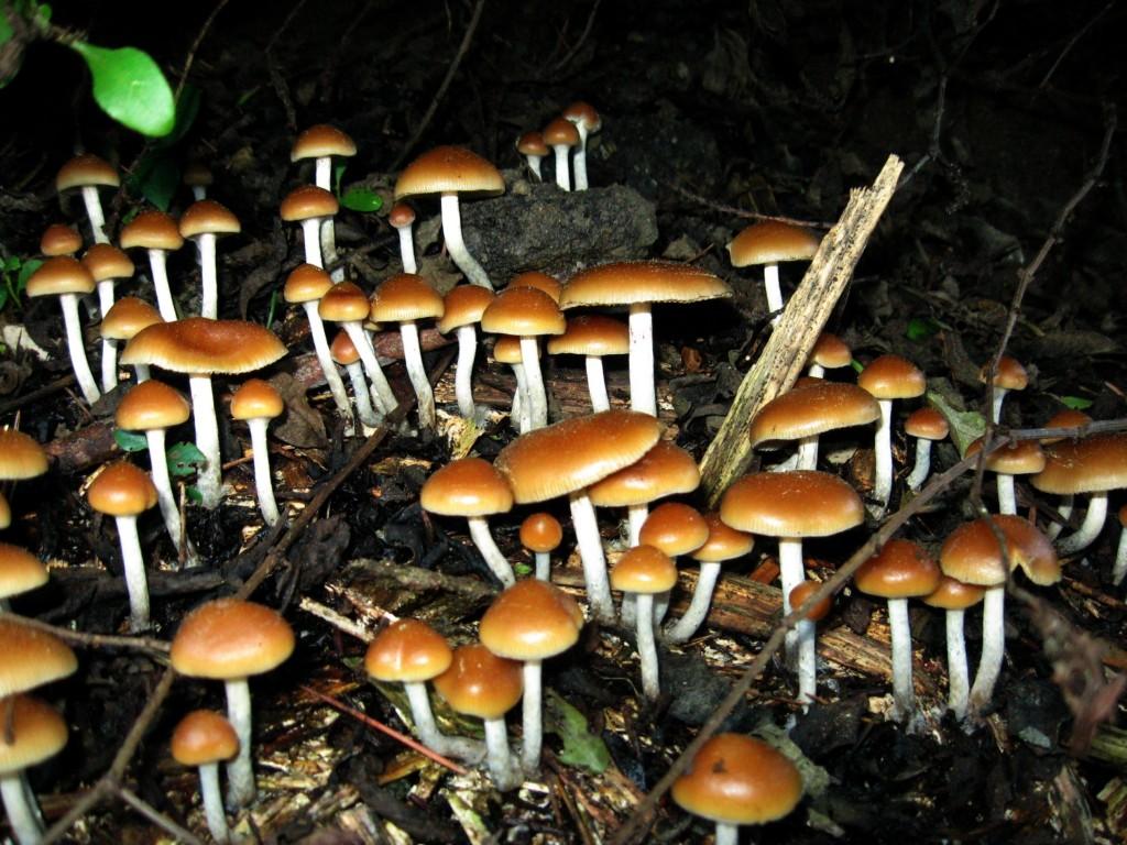Psilocybin Mushrooms. (Source: Wikimedia Commons)