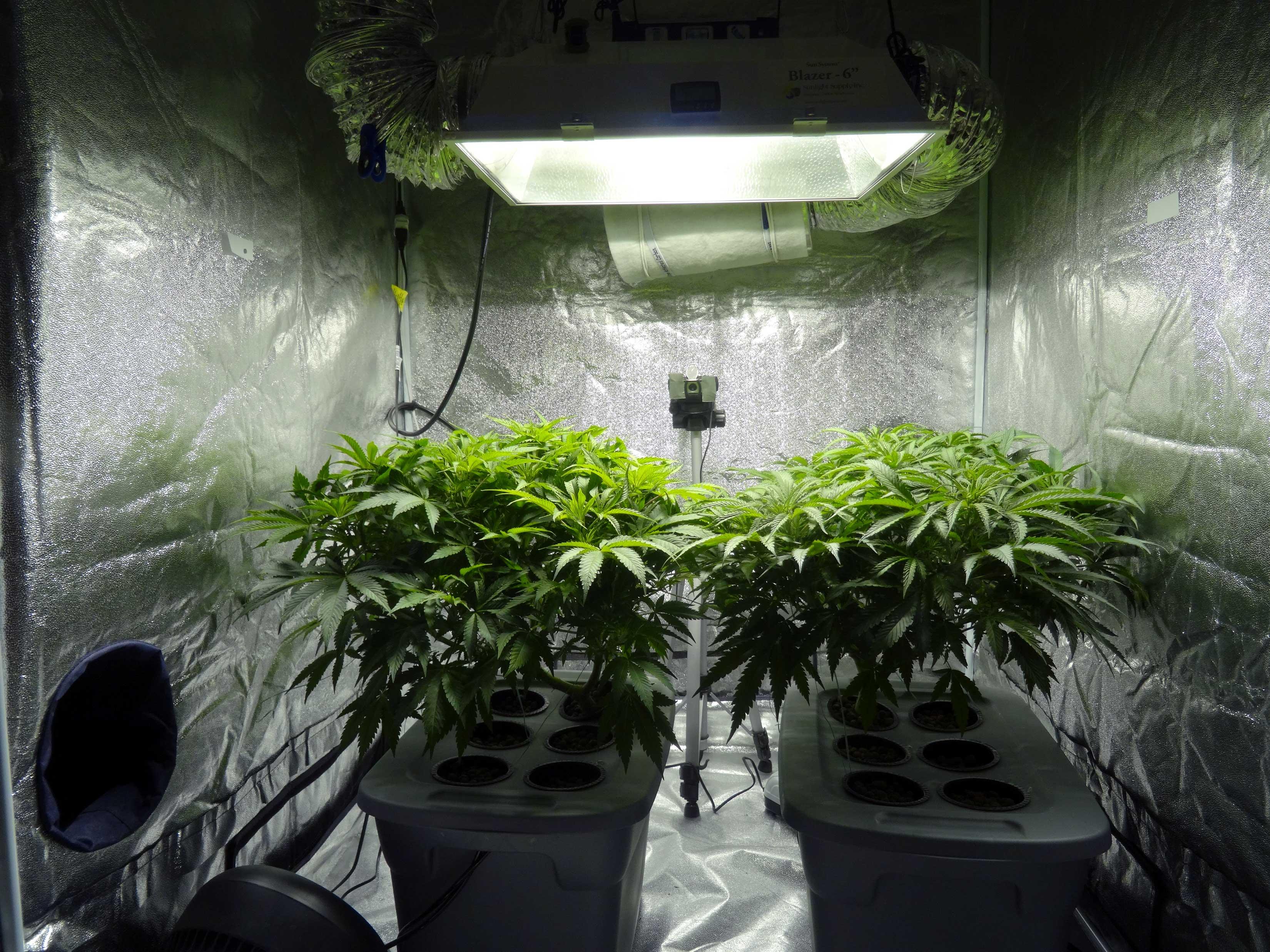 Cannabis cultivation (Source: Wikimedia Common
