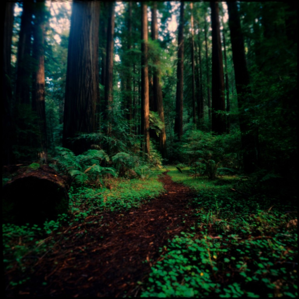 Redwood trees in Humboldt County, California. (Flickr - Wayne Mackeson)