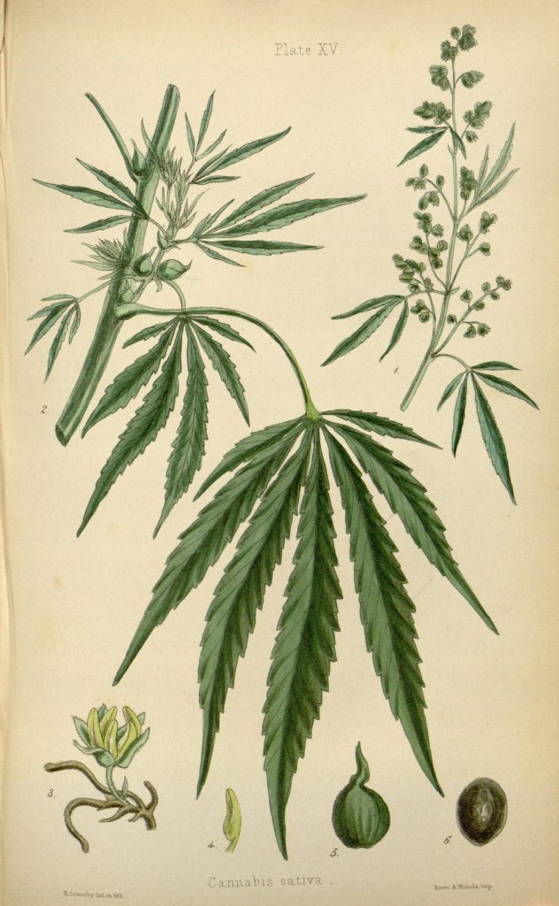 Illustration of Cannabis Sativa plant. (Wikimedia Commons)