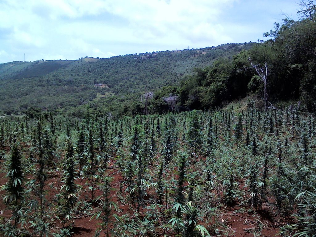 Ganja growing in St Elizabeth, Jamaica. (Photo by Simon Jones)