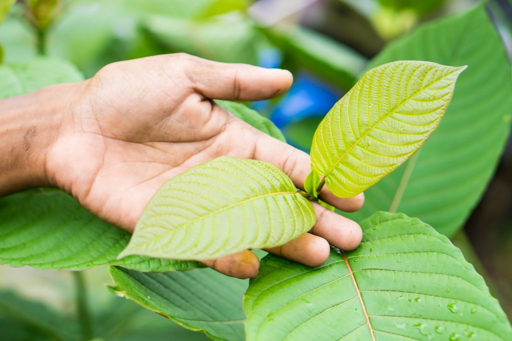 Kratom leaves. (Source: Shutterstock)